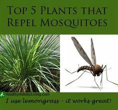Use lemongrass to repel mosquitos