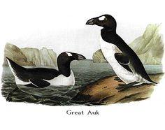 The definitive website on Birds & Nature. Audubon's Bird's of America. Bird Illustration, Illustrations, Great Auk, Audubon Birds, Birds Of America, John James Audubon, Extinct, American Artists, Natural History