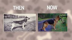 6 Popular Dog Breeds Before And After 100 Years Of Breeding All Dogs, I Love Dogs, Terrier, Selective Breeding, Popular Dog Breeds, Oragami, Vintage Dog, Vizsla, Science And Nature