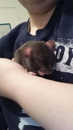 new rat. what breed is he?? they didn't tell me. #aww #cute #rat #cuterats #ratsofpinterest #cuddle #fluffy #animals #pets #bestfriend #ittssofluffy #boopthesnoot