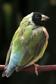 Gouldian Finch By Frank Townsley