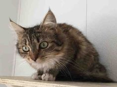 Meet A163200, a Petfinder adoptable Domestic Medium Hair Cat | Visalia, CA | 163200 is at the TULARE SHELTER WHICH ONLY HAS AN 8% ADOPTION RATE!!!