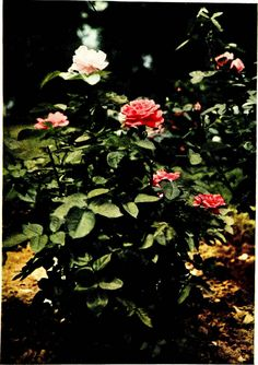 "Image from page 48 of ""The practical book of outdoor rose growing for the home garden"" (1915) 