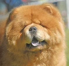 looks like a bear- but it is a chow