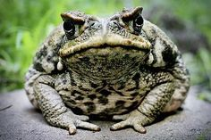 The cane toad (Bufo marinus), also known as the giant neotropical toad or marine toad, is a large, terrestrial true toad which is native to Central and South America, but has been introduced to various islands throughout Oceania and the Caribbean.