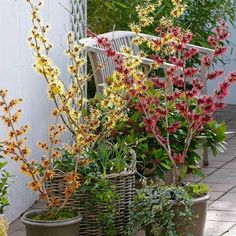 How to grow witch hazel in a container