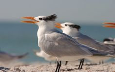 The royal tern (Thalasseus maximus) is a seabird in the tern family Sternidae. This bird has two distinctive subspecies: T. m. maximus which lives on the Atlantic and Pacific coasts of the North and South America, and the slightly smaller T. m. albididorsalis lives on the coast of West Africa. The royal tern has a red-orange bill and a black cap during the breeding season, but in the winter the cap becomes patchy. The royal tern is found in Europe, Africa, the Americas, and the Caribbean…