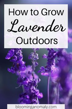 Here are some tips to grow lavender outdoors. You can start them from seed indoors, then grow the herbs in pots in your garden. Click on the pin to learn more about how to grow lavender. #growlavender #lavenderherb #lavenderflowers #howtogrowlavender #growlavenderinpots Lavender Uses, Dried Lavender Flowers, Growing Lavender, Lavender Sachets, Gardening For Beginners, Gardening Tips, Potting Soil, Companion Planting