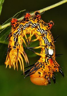 Stunning Notodontid Moth Caterpillar (Notodontidae) by itchydogimages, via Flickr