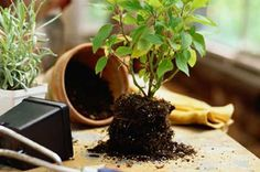 Repotting 101 – Nursery Tree Wholesalers