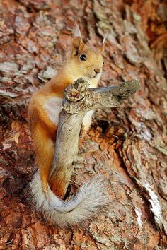 Red squirrel on a red pine tree
