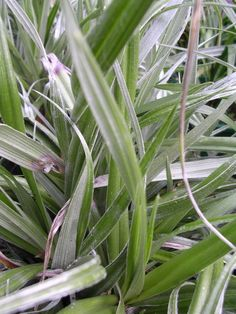 Google Image Result for http://www.projectlandscape.co.nz/upload/plantdatabase/20080708/astelia_banksii.jpg