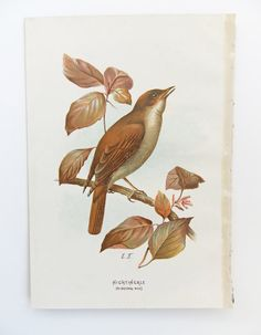 Nightingale  Bird Print by A. Thorburn  by PeonyandThistlePaper, £8.00