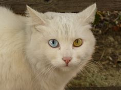 Cat with Different Color Eyes Click to see more funny cats