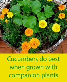 Companion plants that grow well with cucumbers