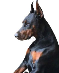 The Doberman Pinscher is among the most popular breed of dogs in the world. Known for its intelligence and loyalty, the Pinscher is both a police- favorite Doberman Mix, Doberman Pinscher Puppy, Big Dogs, Cute Dogs, Dogs And Puppies, Doggies, Beautiful Dogs, Animals Beautiful, Cute Animals