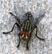 Fliegenplage bekämpfen Fliegen Wohnung biologisch fernhalten