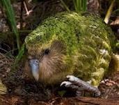 kakapo - un pajaro muy simpático