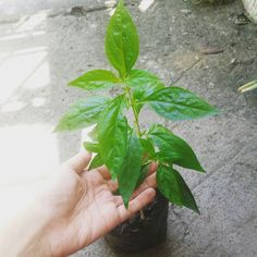 #sepentina is one of our best-sellers. Our diabetic customers come back to us grateful and insulin-free. Get it fresh, harvest it yourself! Seedling starts at Php50. Visit www.herbalandherbs.com for more info. Please share with diabetic family and friends. This might help them. :-) #gardening #plants #naturalmedicine #homeremedy #diabetes Cooking Herbs, Natural Medicine, Home Remedies, Diabetes, Grateful, Harvest, Herbalism, Plant Leaves, Organic