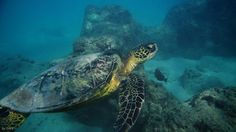 Sea Turtle @ Hanauma Bay