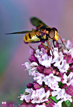Hoverfly on Marjoram flower