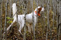 Cooper On Point- upland hunting