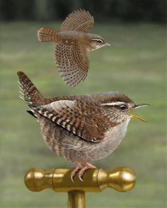 Winter Wren - Whatbird.com