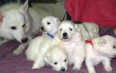 Ladies and Gentlemen, We present you these wonderful exceptional litter of Japanese Spitz Puppies for sale, Puppies are AKC registered, vet checked, Micro chip, wormed and faces no health problems, we are now accepting deposits on these fluffy bundles of joy, they will make the perfect companion to a good pet loving home, they willRead More The post Zara – JAPANESE SPITZ PUPPIES FOR SALE appeared first on VIP Puppies - Puppy Finder - Puppies for Sale & Puppies for Adoption. If you've enjoyed…