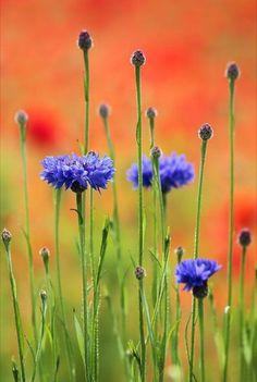 ~~Sapphires and Rubies - Cornflowers in a poppy field, British countryside, Surrey, England, UK by Irina Chuckowree~~