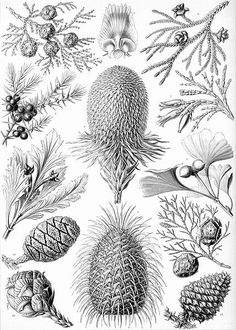 Plate 694, Coniferae specimen from Art Forms in Nature by Ernst Haeckel. Not drawn to scale, instead he arranged them to enhance the beauty of the collection as a whole