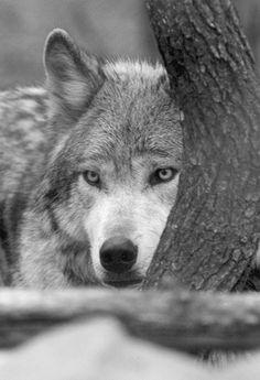 """wolfsheart-blog: """"Wolf by kenkeener1621 """""""