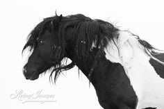 Black and White, Washakie raw, with burrs and dreads by Carol Walker www.LivingImagesCJW.com