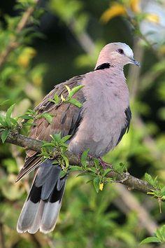 Streptopelia semitorquata - Red-eyed Dove | Flickr - Photo Sharing!