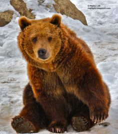 Lean in grizzly bear - Google Search