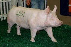 american yorkshire pig - Google Search
