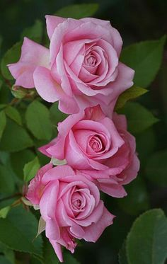 Three Pink Roses pretty........