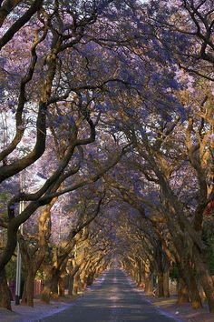 Jacaranda City Tree Tunnel - Pretoria, South Africa - we lived and walked along this avenue.