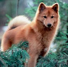 Finnish Spitz-- looks a bit like Teferi!