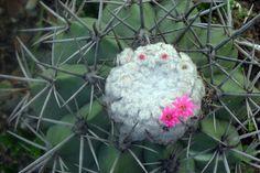 Melocactus sergipensis