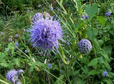 Succisa pratensis (5 plugs) - Devil's Bit Scabious, Blue hardy perennial UK native wild flower & meadow plant by RootGarden on Etsy