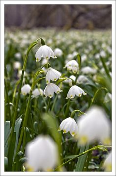 Leucojum (snowflakes) Under the tree right at the front.