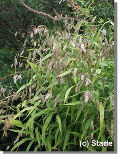 Staudenfoto zu Chasmanthium latifolium (Plattährengras)