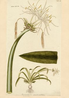 Spider Lily. Our inspiration