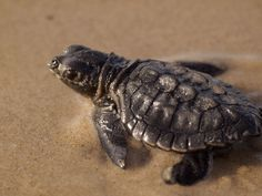Lepidochelys kempii. Kemp's Ridley Turtle is the most severely endangered marine turtle in the world; in the 1980s only a few hundred females were observed nesting, although the population is now showing signs of recovery. http://eol.org/data_objects/17269685