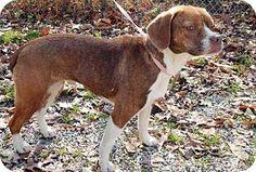 Southern, NH - Pug/Beagle Mix. Meet Cricket, a dog for adoption. http://www.adoptapet.com/pet/12110041-southern-new-hampshire-pug-mix