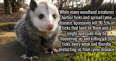 WHAT'S TRUE: Some data indicate opossums eat thousands of deer ticks per season, reducing the number that can go on to spread Lyme Disease to humans.