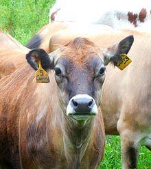 Cattle - Wikipedia