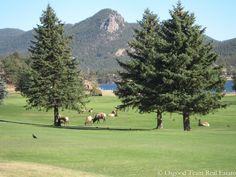 Elk on the golf course in Estes Park, Colorado.