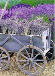 Crazy For Lavender... — Providence Design