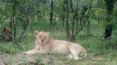 Beautiful lioness in Kruger - South Africa. Photo by Rowan Sarakis